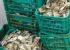 Retiene Conapesca casi 33 toneladas de producto pesquero Sinaloa y Baja California